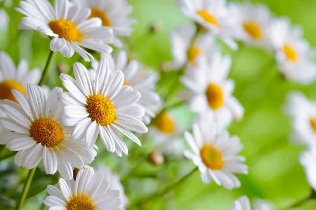 wellnessaromas-aromatherapy-essential-oil_chamomile-benefits-uses