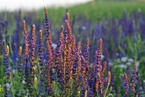wellnessaromas-aromatherapy-essential-oil_clary-sage-benefits-uses