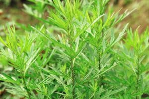 wellnessaromas-aromatherapy-essential-oil_mugwort-benefits-uses