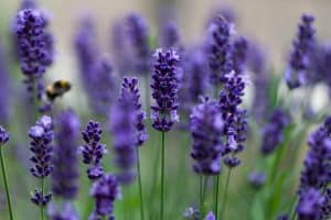 wellnessaromas-aromatherapy-essential-oil_lavender-benefits-uses