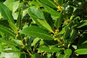 wellnessaromas-aromatherapy-essential-oil_bay-laurel-benefits-uses