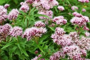 wellnessaromas-aromatherapy-essential-oil_valerian-benefits-uses