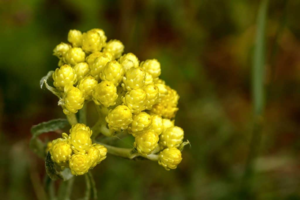 The Top 6 Proven Benefits and Uses of Helichrysum Essential Oil