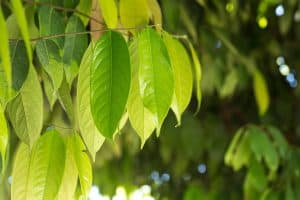 The Top 6 Proven Benefits and Uses of Ocotea Essential Oil