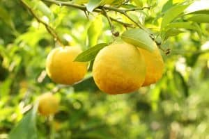 The Top 6 Proven Benefits and Uses of Yuzu Essential Oil