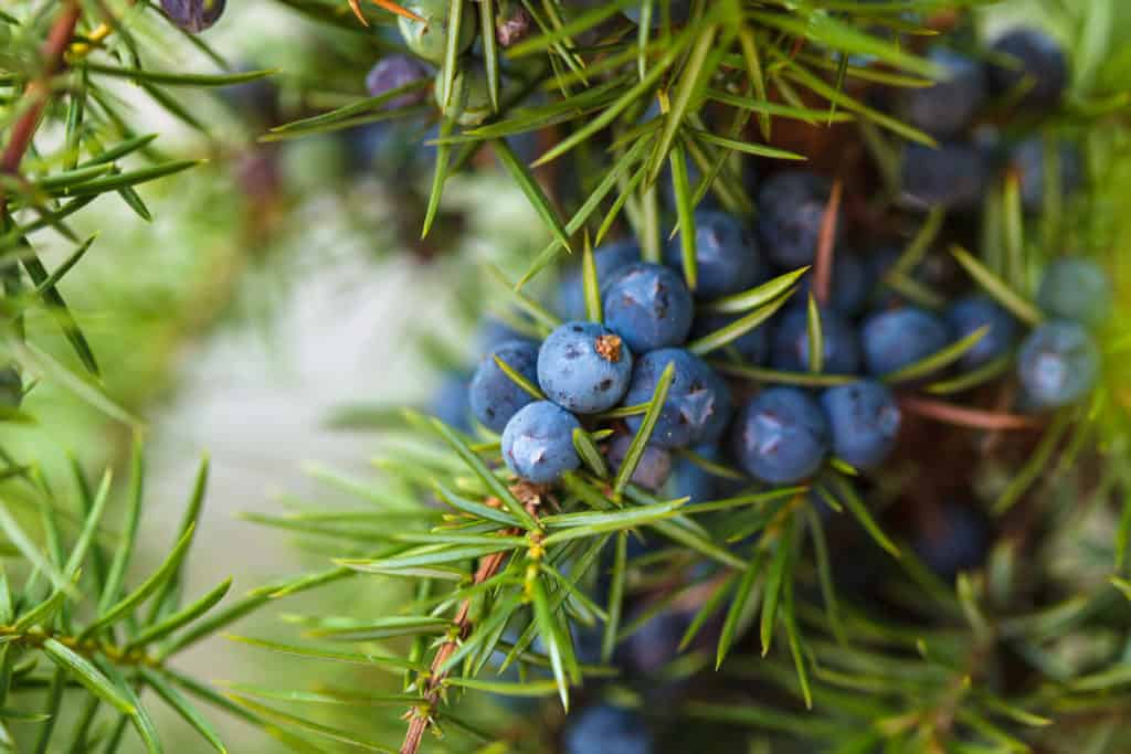 Juniper Berry Essential Oil Benefits And Uses Wellness Aromas