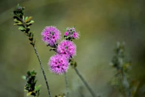 Kunzea Essential Oil Benefits and Uses