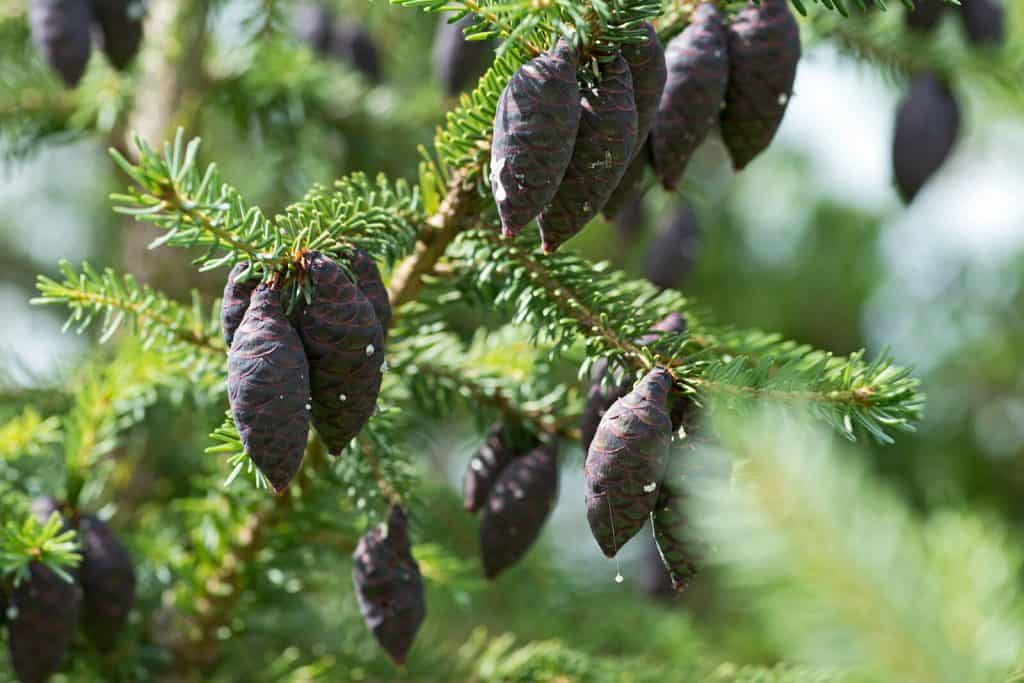 Black Spruce Essential Oil Benefits and Uses