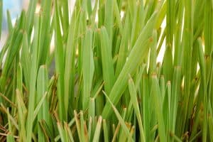 Citronella Essential Oil Benefits and Uses