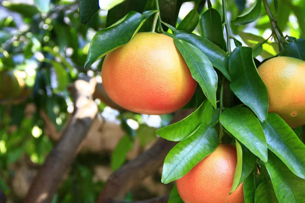 Grapefruit Essential Oil Benefits and Uses