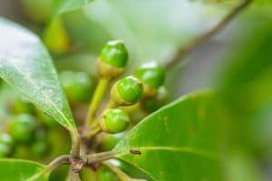 May Chang Essential Oil Benefits and Uses