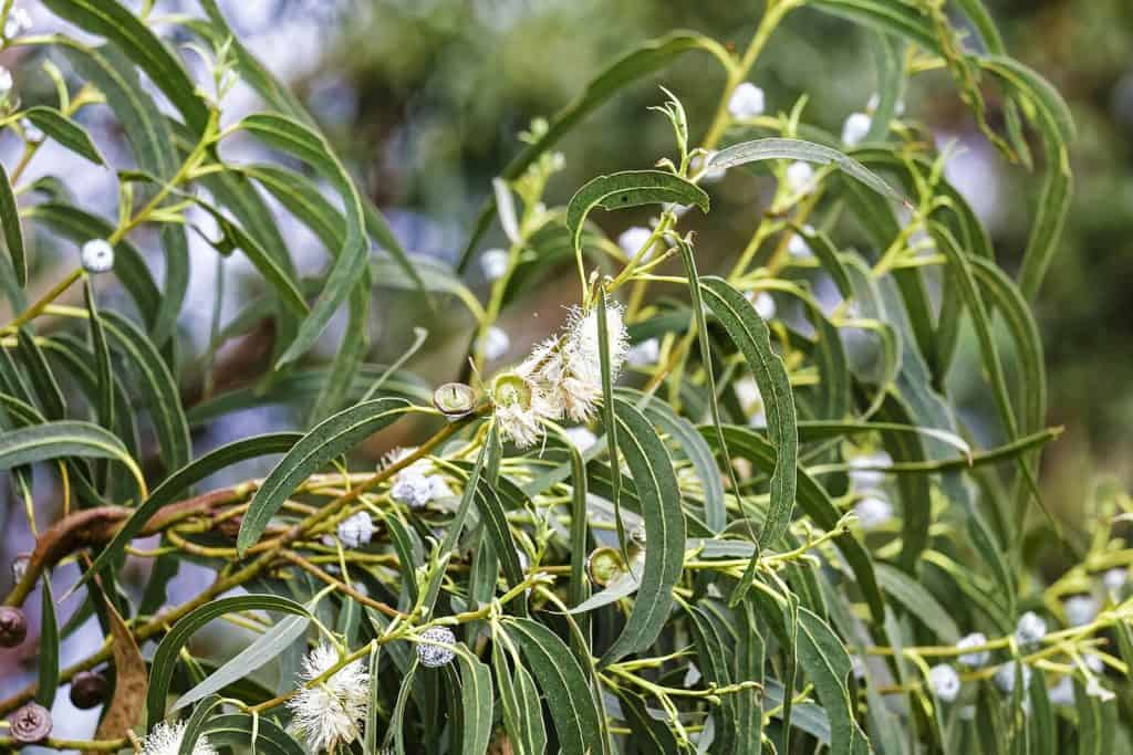 Eucalyptus Globulus Essential Oil Benefits and Uses