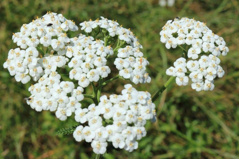 Yarrow Essential Oil Benefits and Uses