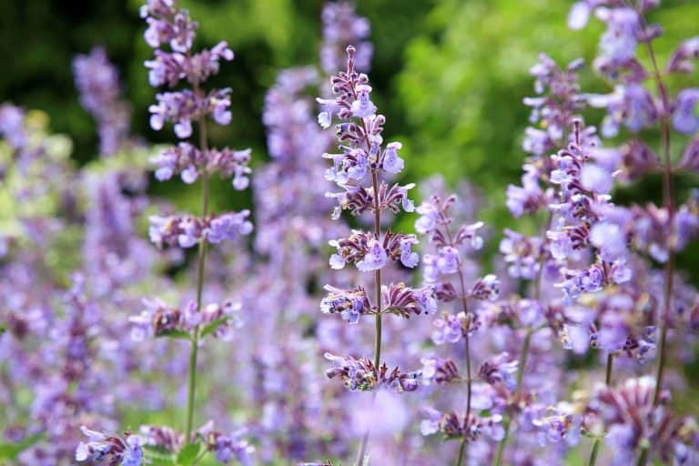 Catnip Essential Oil Benefits and Uses
