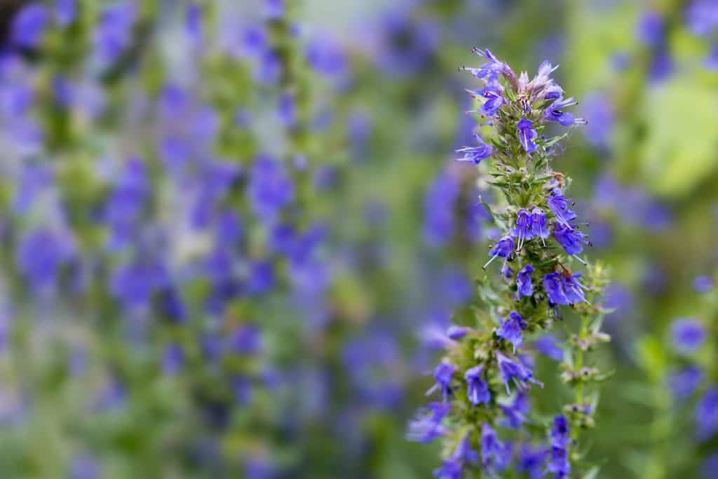 Hyssop Essential Oil Benefits and Uses
